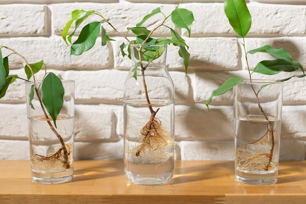 白いレンガの壁に対して水のガラスに根を持つ苗屋内植物を繁殖させる