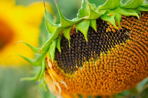 여름에 들판에 시든 해바라기 씨앗