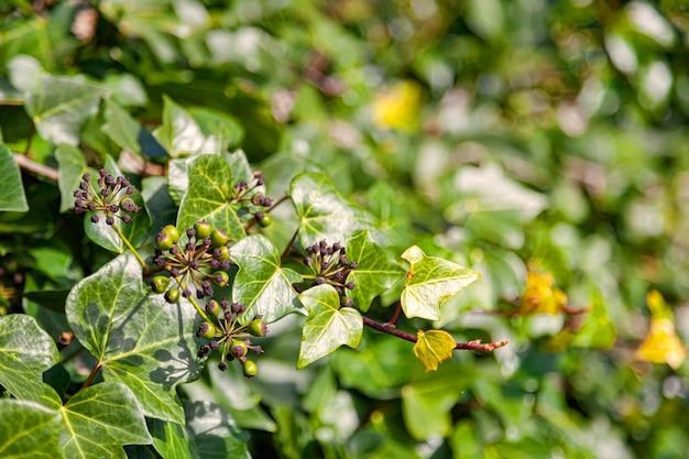 ツタ、ヘデラ、らせんの背景の種子