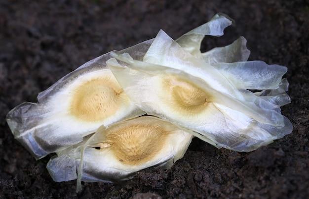 肥沃な土壌のモリンガオレイフェラの種子