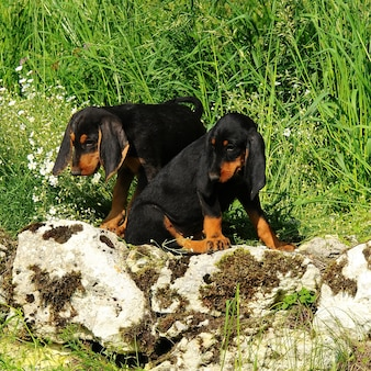 Segugio italiano puppies dog
