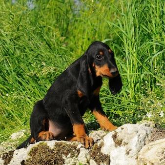 Segugio italiano子犬犬