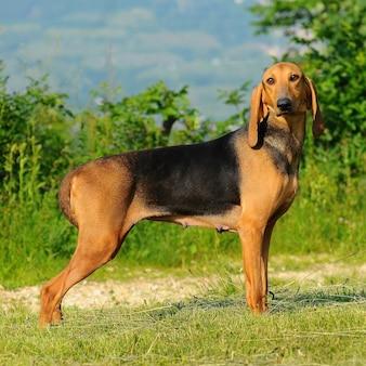 Segugio italiano犬