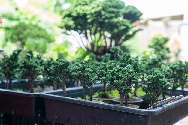 雪花ひのき盆栽は、縮んで小さな森のように見える小さな木です。