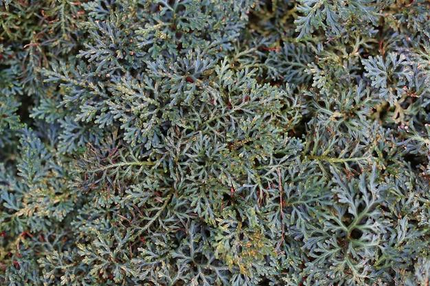 Selaginella erythropus в саду. вид сверху.