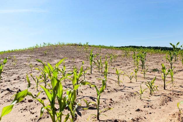農地の領土でめったに成長しないトウモロコシの茎