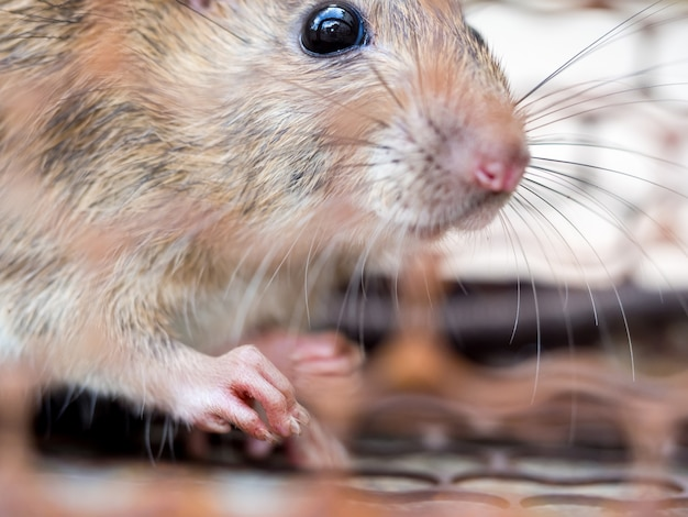 Select focus of the nail of the rat in the nick