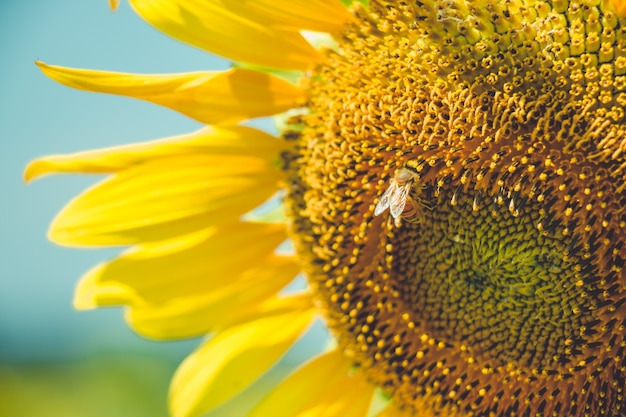 Select focus pollen of sunflower is blooming and bee is feeding in sunny day
