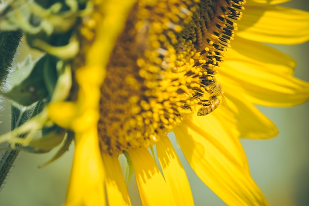 Select focus pollen of sunflower is blooming and bee is feeding in sunny day.