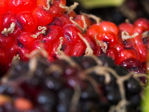 Select focus of red and purple mulberry the background is a group of mulberries.