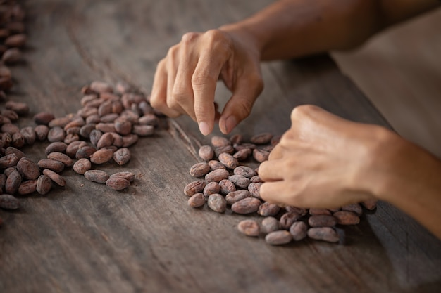 Selection of completed cocoa seeds must be dried before into sacks