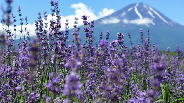 Selection focus lavender on blur fuji mountain background in summer , japan