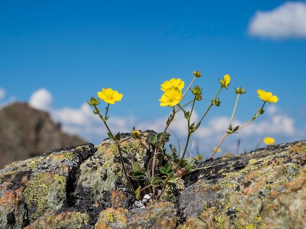セレクティブフォーカス。白い積雲と青い空を背景に黄色の山の花と抽象的な自然の背景。スペースをコピーします。