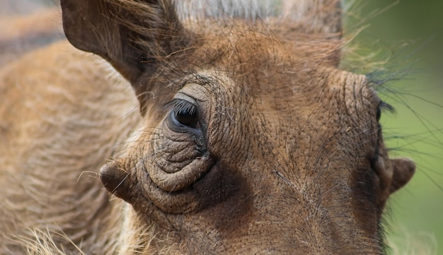 Selective closeup of the face of a common warthog