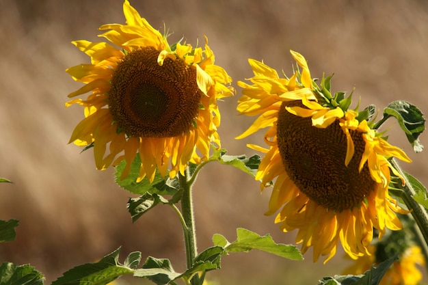 Selective closeup shot of green leafed yellow sunflowers