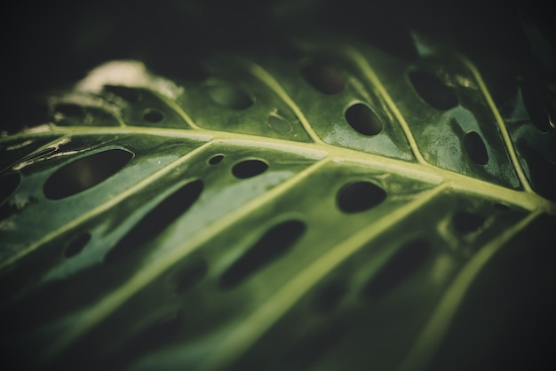 Selective closeup shot of a green swiss cheese or a monstera leaf