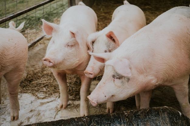 헛간에서 핑크 돼지의 선택적 근접 촬영 샷