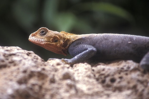 Selective closeup shot of an orange and gray agama