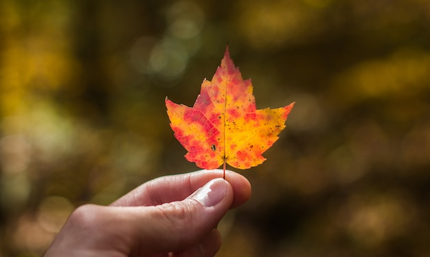 Selective closeup shot of a person holding a pink and orange maple leaf