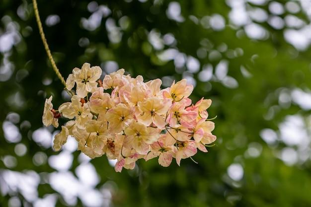 Селективный фокус красивый цветок фистулы кассии зацветая в саду.