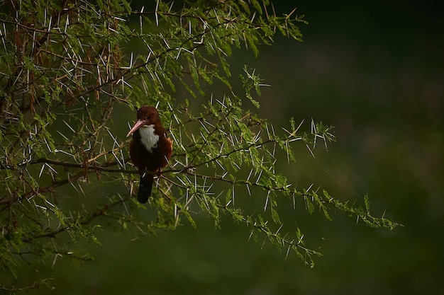 Selective focus of a beautiful coraciiformes bird sitting on the branches of a spruce tree