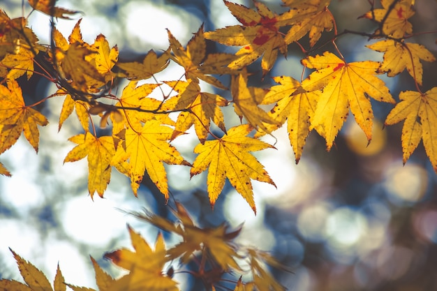 Selective focus on beautiful maple leaves in autumn on bokeh background
