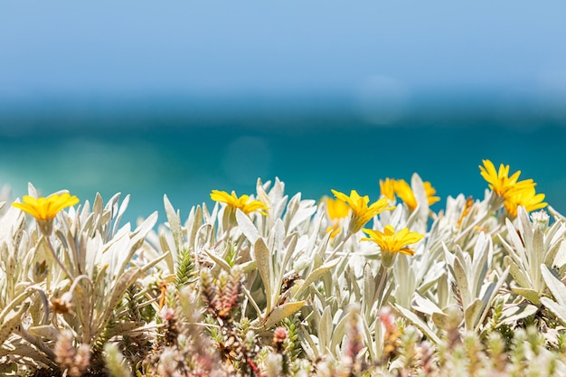 Selective focus  of beautiful yellow wildflowers blooming on a shore of cape town, south africa