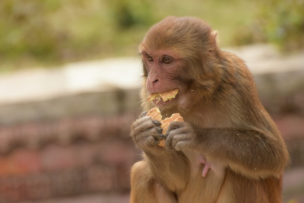 Selective focus of a beige monkey eating