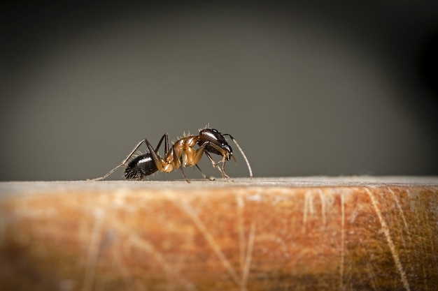 Selective focus at big black ant on wooden floor