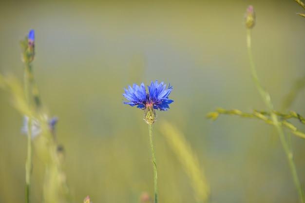 Messa a fuoco selettiva di piccoli fiori viola in fiore nel campo