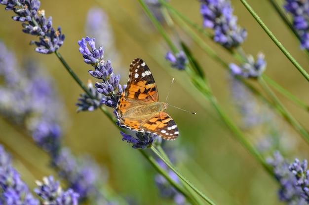 Messa a fuoco selettiva di una farfalla sui fiori viola in fiore