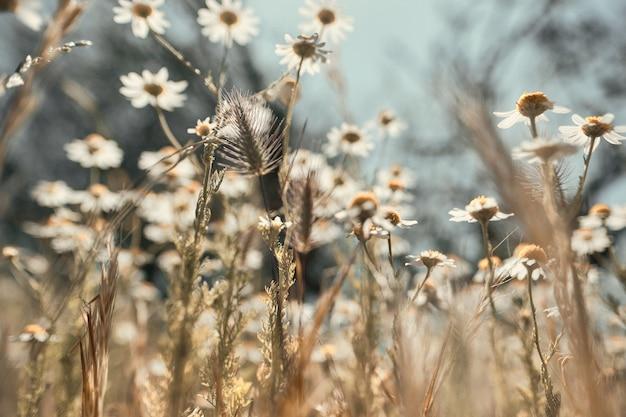 Messa a fuoco selettiva delle camomille in un campo