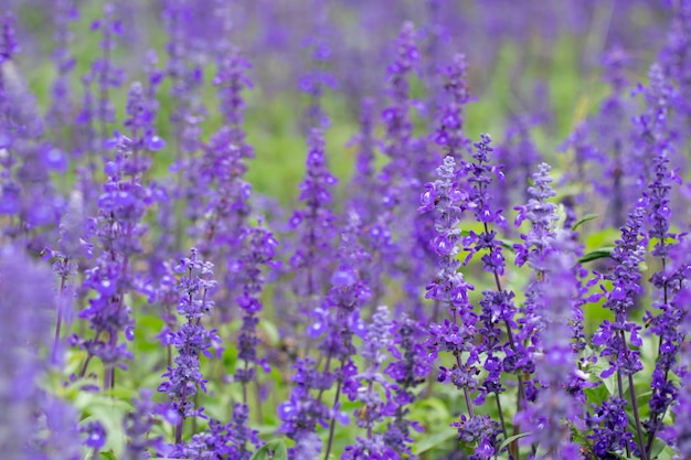 Selective focus close up beautiful purple lavender in the fields for wedding or beauty background