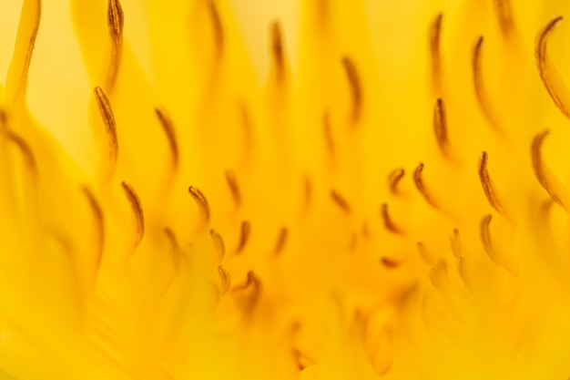 Selective focus close up yellow water lily flower with yellow pollen  background.