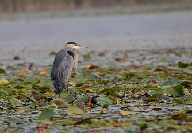 Selective focus closeup of a grey heron bird perching tree branch in a pond