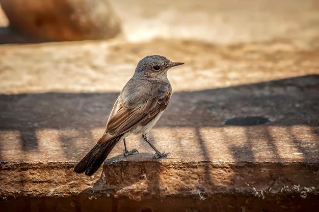 콘크리트 표면에 그친 회색 flycatcher의 선택적 초점 근접 촬영