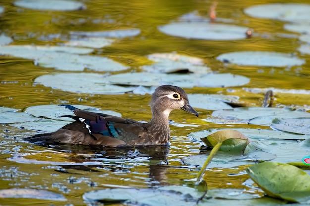 池で泳いでいるアヒルの選択的な焦点のクローズアップ
