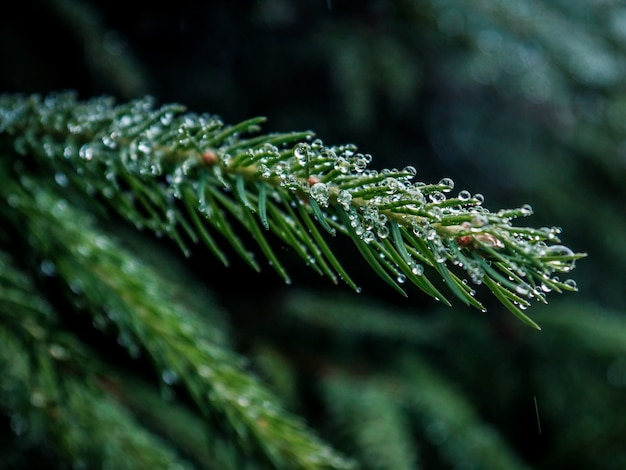 Selective focus closeup shot of green pine tree branch with water droplets