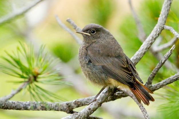 木にとまるクロジョウビタキと呼ばれる鳥の選択的な焦点のクローズアップショット