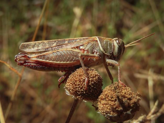 시든 꽃 위에 메뚜기의 선택적 초점 근접 촬영