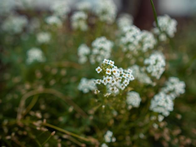 Colpo del primo piano del fuoco selettivo di piccoli fiori bianchi in un campo dei fiori su un confuso