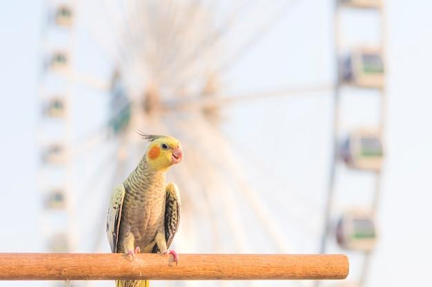 Селективный фокус птица корелла nymphicus hollandicus на деревянной подставке