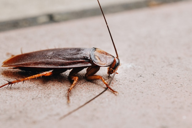 Selective focus of cockroach on the cement floor, close up of cockroach on street