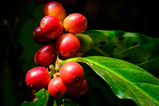 Selective focus of coffee cherries on a branch of coffee tree