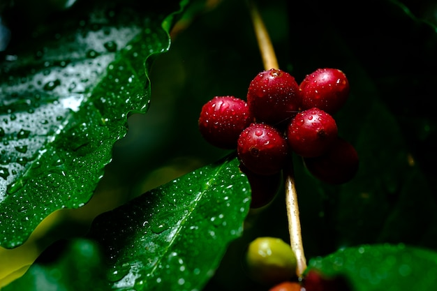 Selective focus of coffee cherries and water drop on a branch of coffee tree on dark background