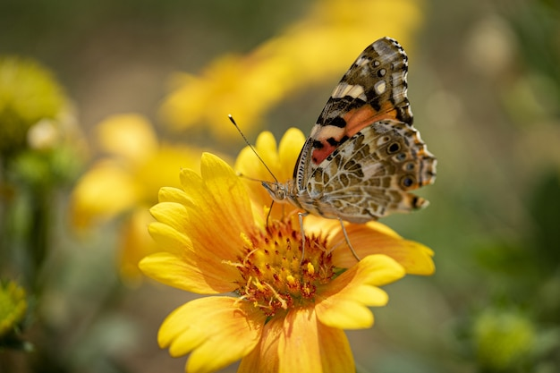 Selective focus of the colorful butterfly on the yellow flower