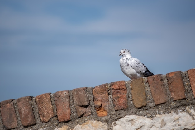 Selective focus of a colorful pigeon perching on the wall against the blue sky