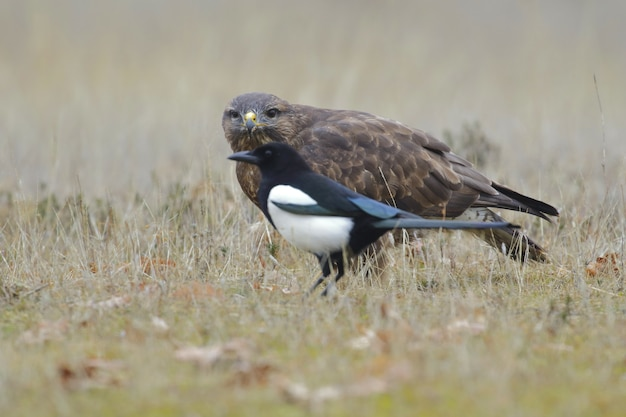 Selective focus of a crow and a falcon on a grass-covered field