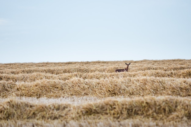 Selective focus of deer in a field covered in dried grass in the countryside