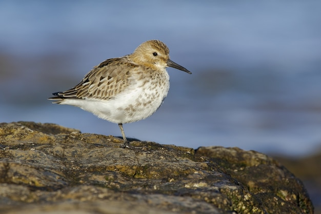 Selective focus of a dunlin standing on a rock under the sunlight